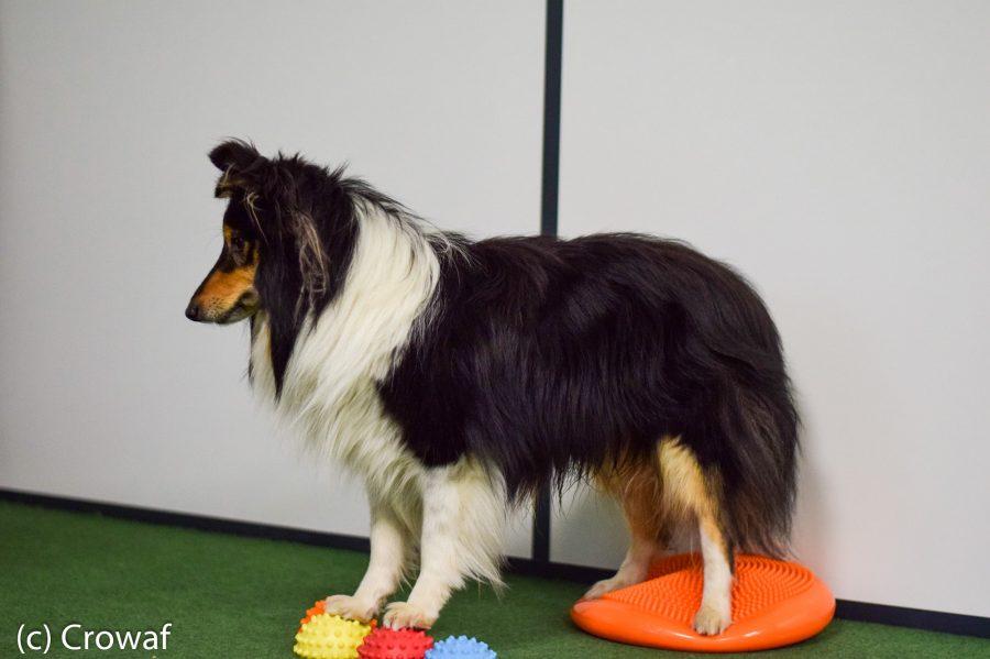 Cynotopia fitness fitbone proprioception musculation chien shetland
