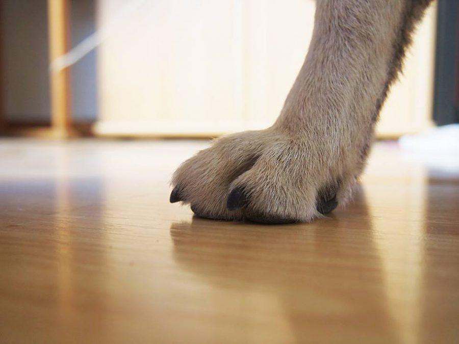cynotopia couper griffes chien